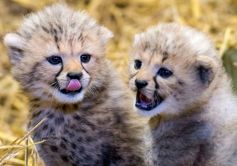 Chirpin Cheetahs Twin Cubs Born At Longleat Safari Zooborns
