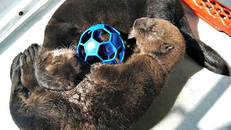 Sea-Otters-w-ball