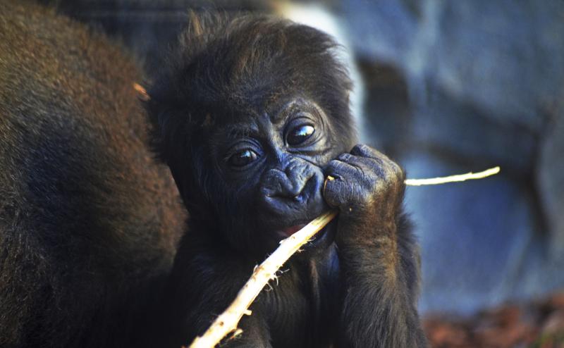 2_La bebé gorila VIRUNGA nacida en BIOPARC Valencia cumple 3 meses (2)