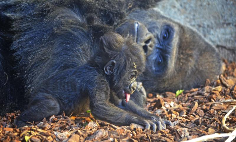 4_La bebé gorila VIRUNGA junto a su padre MAMBIE en BIOPARC Valencia - noviembre 2016