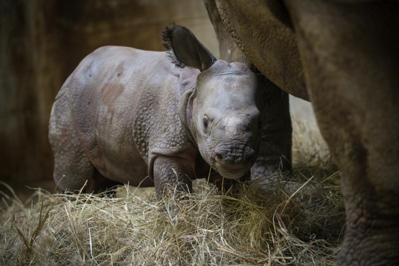 Rhino (Greater One-Horned) Calf 9892 - Grahm S. Jones, Columbus Zoo and Aquarium