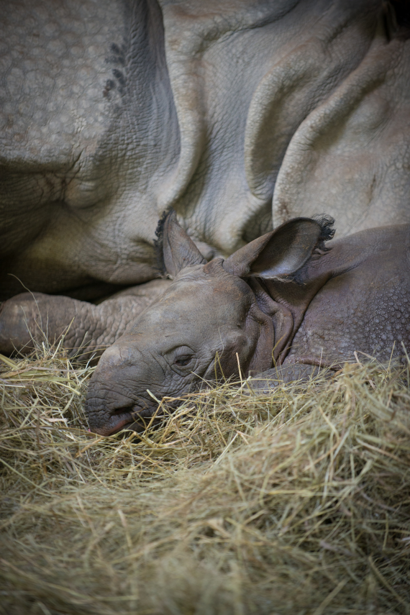 Rhino (Greater One-Horned) Calf 9829 - Grahm S. Jones, Columbus Zoo and Aquarium