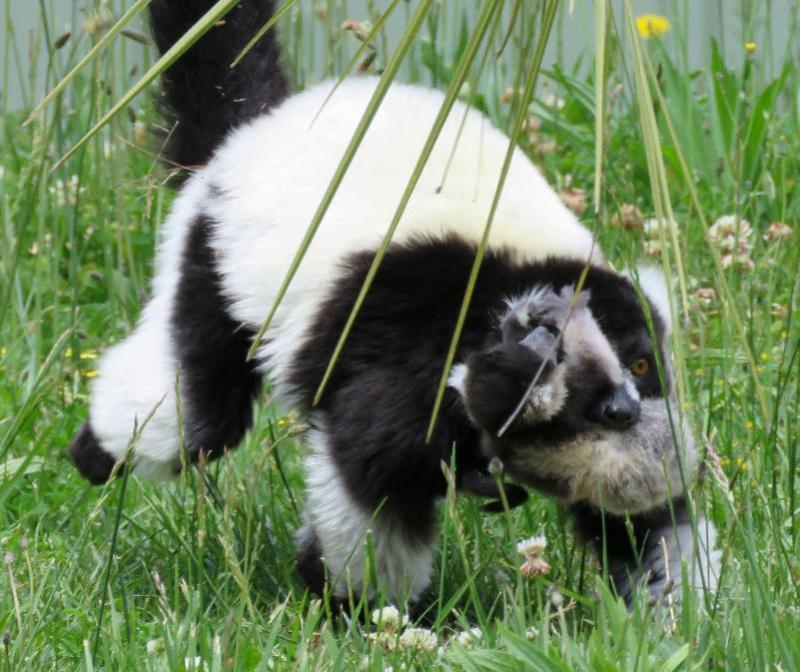 5_B&W Ruffed Lemurs ZOO ACT 2016 Nov 1 (79)
