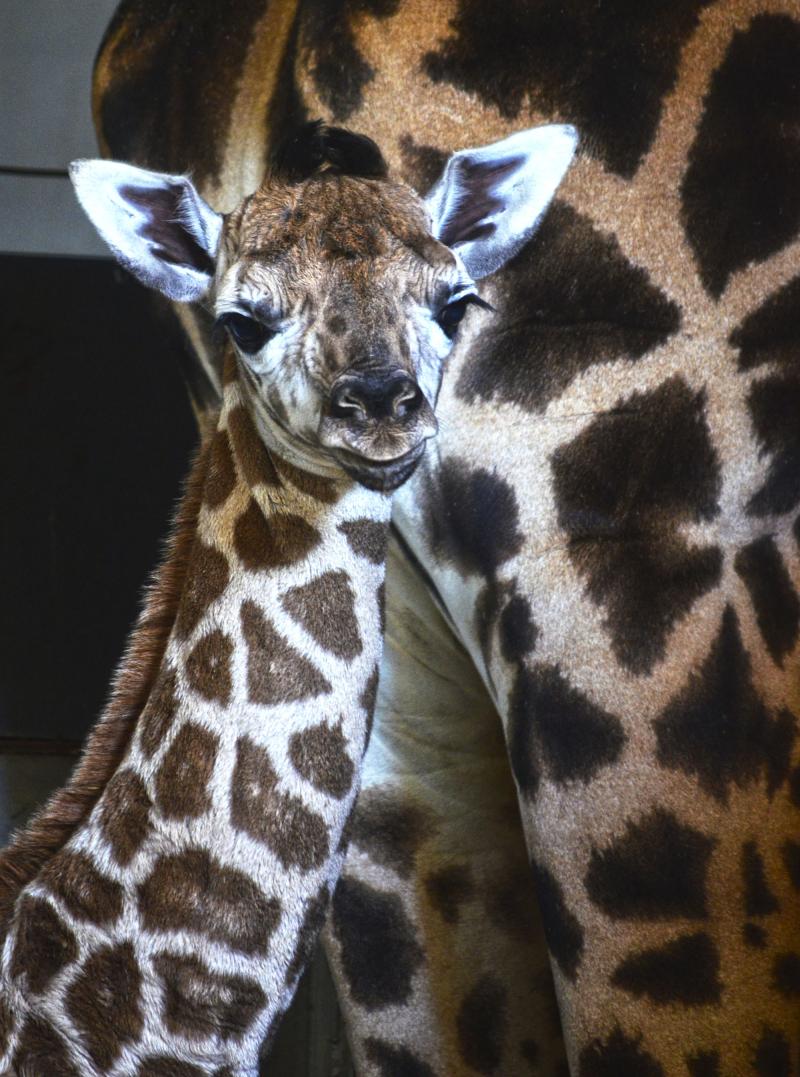 1_Cobijo interior de BIOPARC Valencia - Cría de jirafa Baringo recién nacida - noviembre 2016 (4)