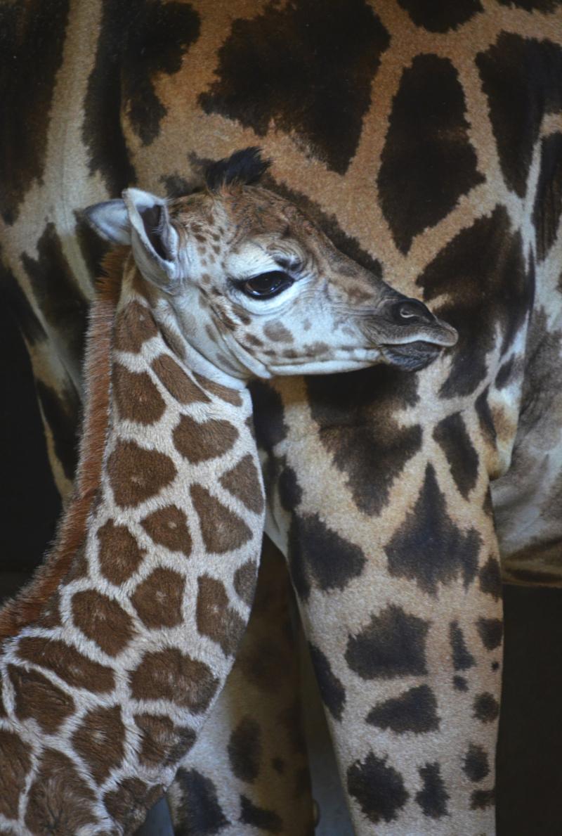 2_Cobijo interior de BIOPARC Valencia - Cría de jirafa Baringo recién nacida - noviembre 2016 (5) (1)