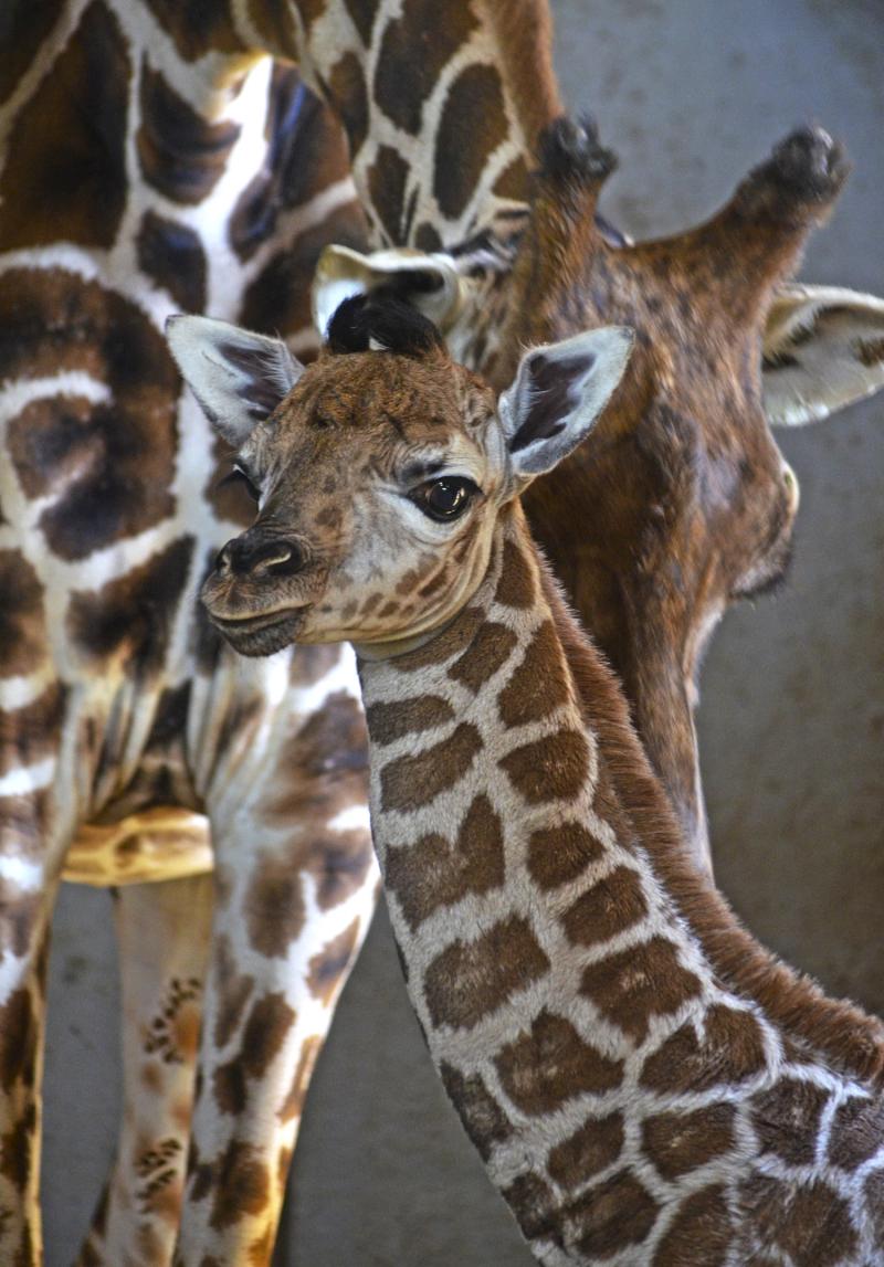 3_Cobijo interior de BIOPARC Valencia - Cría de jirafa Baringo recién nacida - noviembre 2016