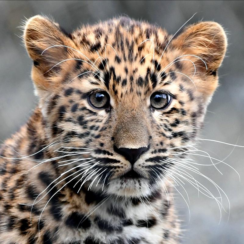 Amur Leopard Cub-2