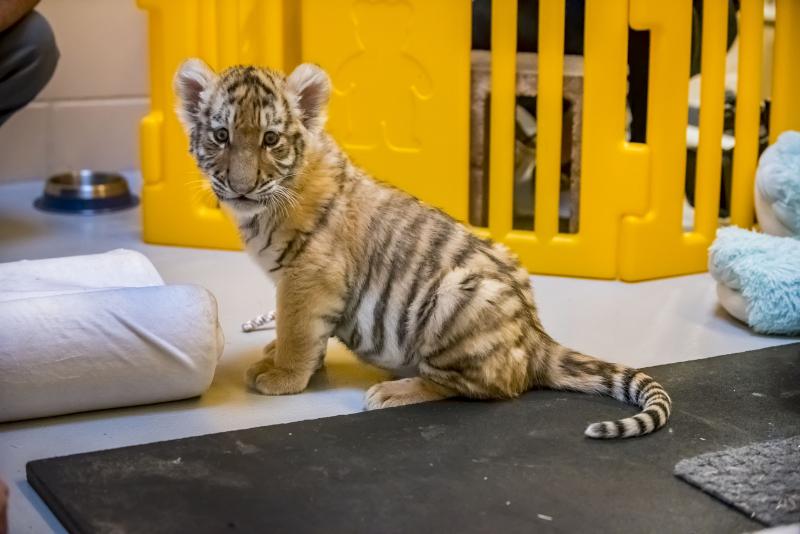 3_Tiger Cubs 11-2016-1747 E