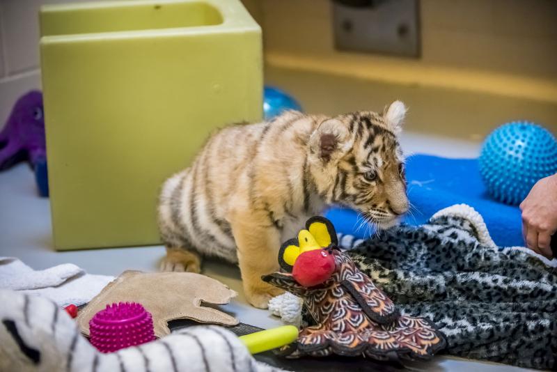 4_Tiger Cubs 11-2016-1727 E