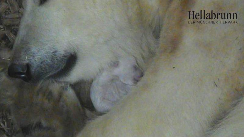 3_Eisbären-Junges mit Giovanna_23.11._TierparkHellabrunn2016