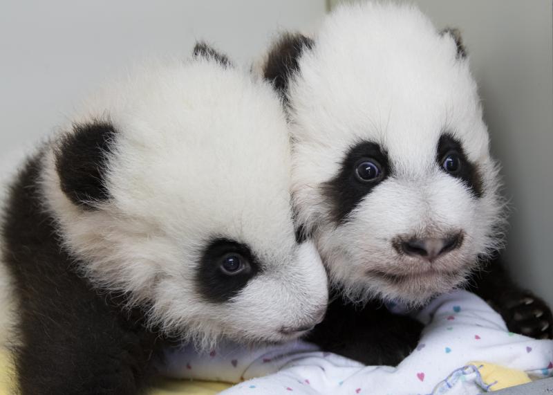 1_panda_cubs2016_161209_cuba_cubb_ZA_5325