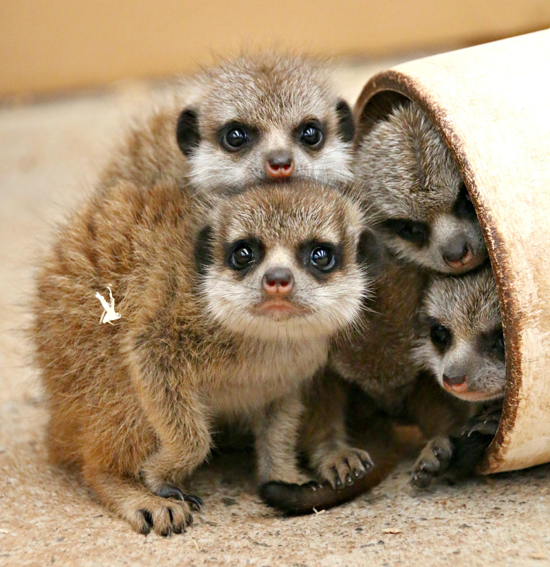 Meerkat Pups 5_Photo by Paul Fahy