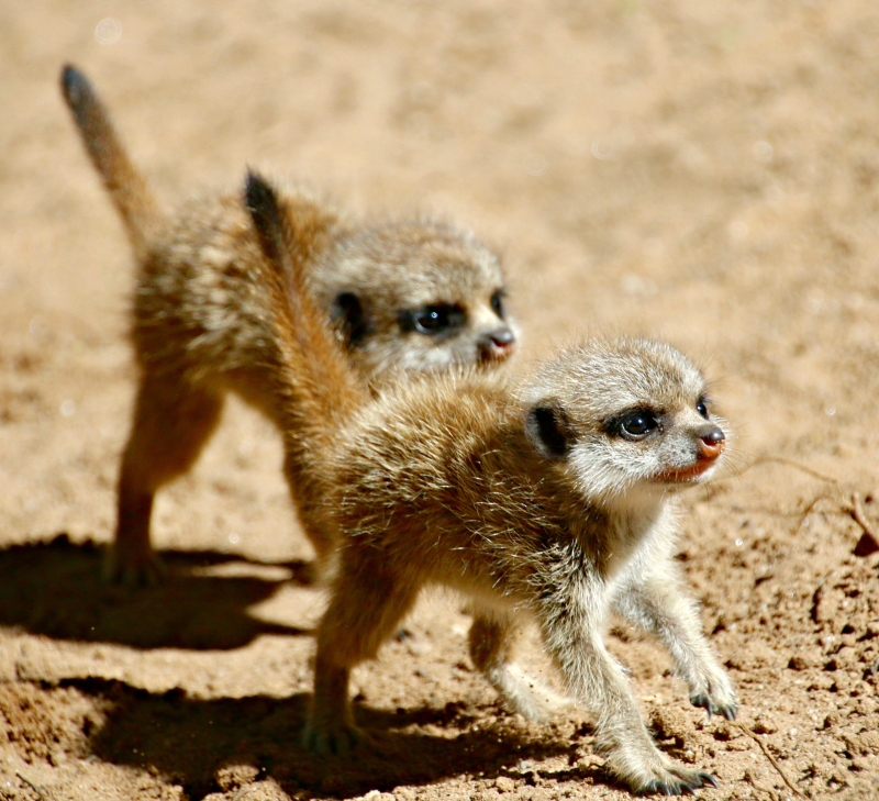 Meerkat Pups 18_Photo by Paul Fahy
