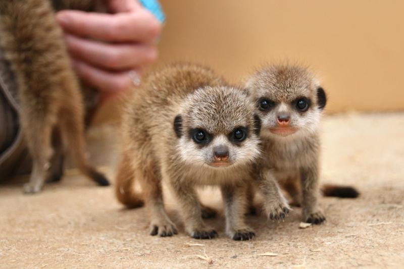 Meerkat Pups 7_Photo by Paul Fahy