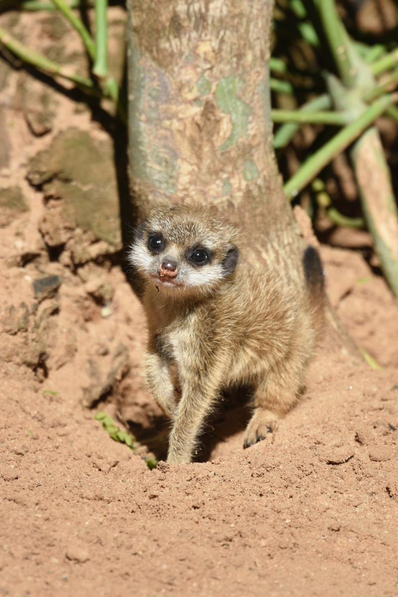 Meerkat Pups 20_Photo by Courtney Mahony