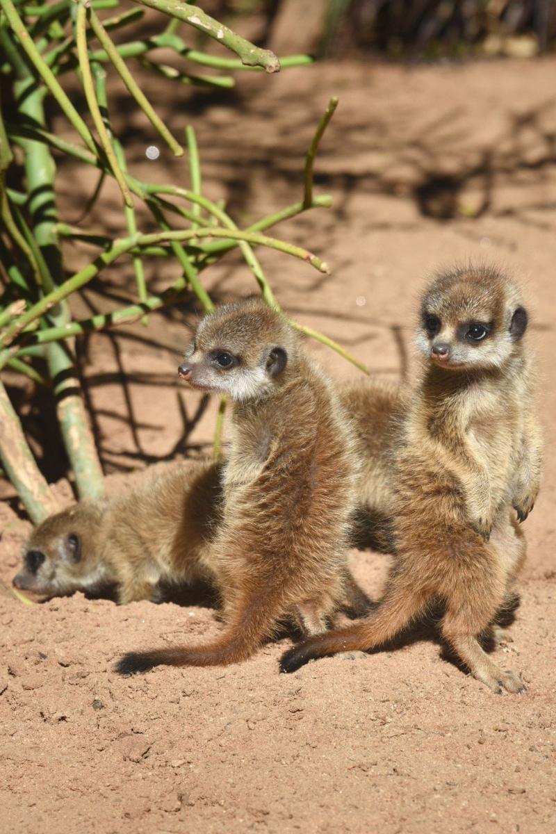 Meerkat Pups 21_Photo by Courtney Mahony