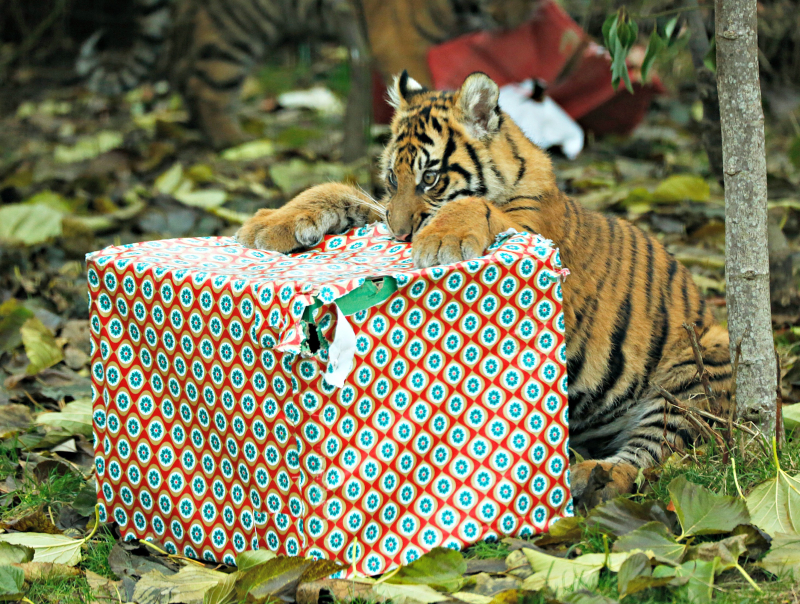 Tiger cubs get Christmas presents (c) ZSL London Zoo (1)