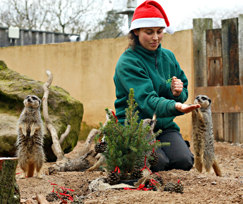 Meerkat Christmas treat 9c) ZSL London Zoo (6)
