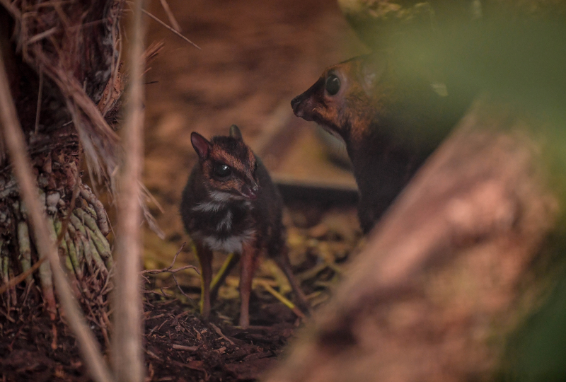 5_Rare Philippine mouse deer, stood with mum Rita, born in UK first at Chester Zoo (22)