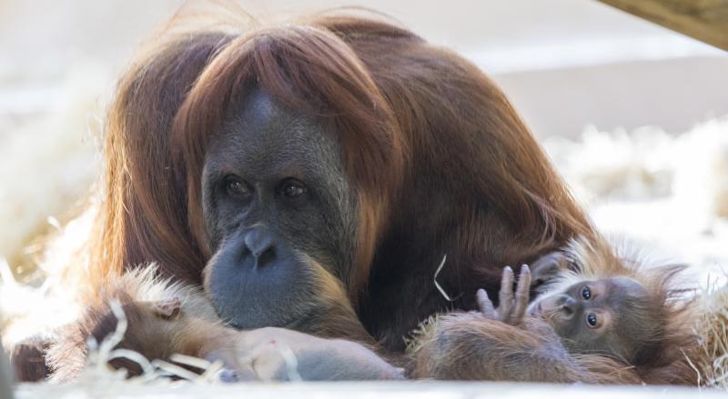 2_OrangUtanMatra+Nachwuchs_TierparkHellabrunn2016_MarcMüller (6)
