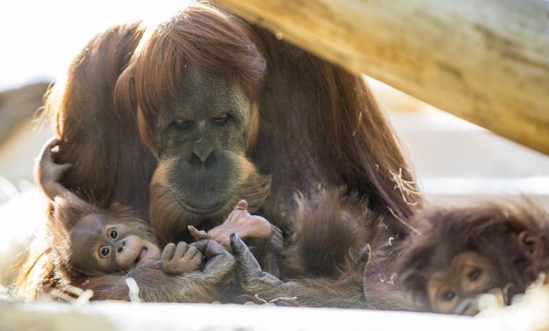 5_OrangUtanMatra+Nachwuchs_TierparkHellabrunn2016_MarcMüller (4)