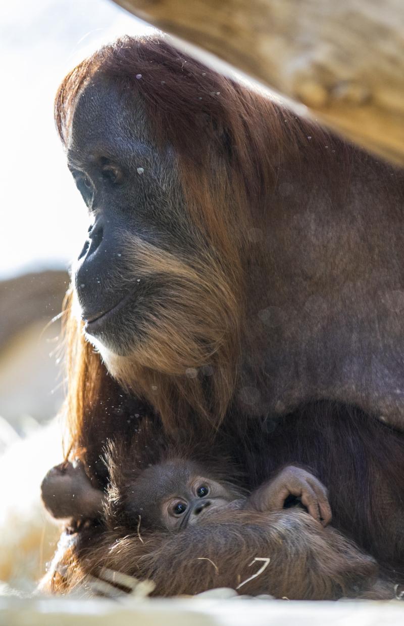 7_OrangUtanMatra+Nachwuchs_TierparkHellabrunn2016_MarcMüller (3)
