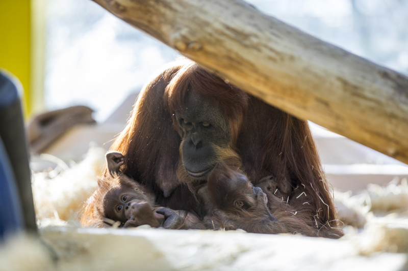 8_OrangUtanMatra+Nachwuchs_TierparkHellabrunn2016_MarcMüller (9)