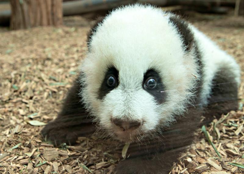 Panda_cubs2016_161227_dayroom_ZA_5894