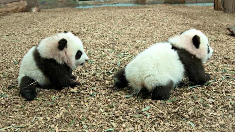 Panda_cubs2016_161227_dayroom_ZA_5888