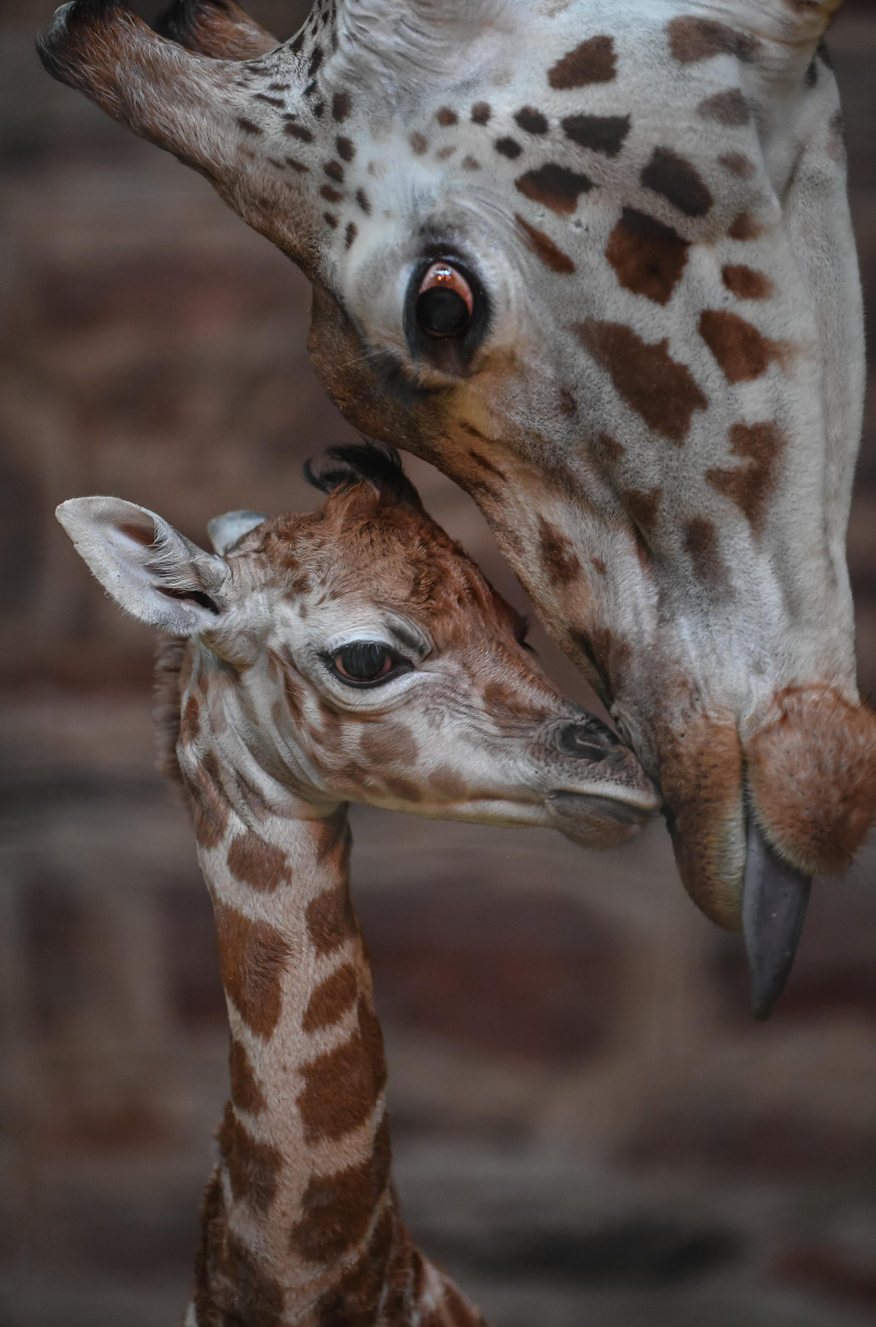 "2) Keepers at Chester Zoo are celebrating ""the best Christmas gift they could have wished for"" following the birth of a rare Rothschild's giraffe calf (7)"