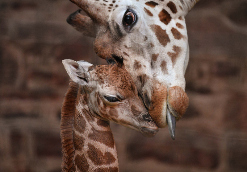 "Keepers at Chester Zoo are celebrating ""the best Christmas gift they could have wished for"" following the birth of a rare Rothschild's giraffe calf (3)"