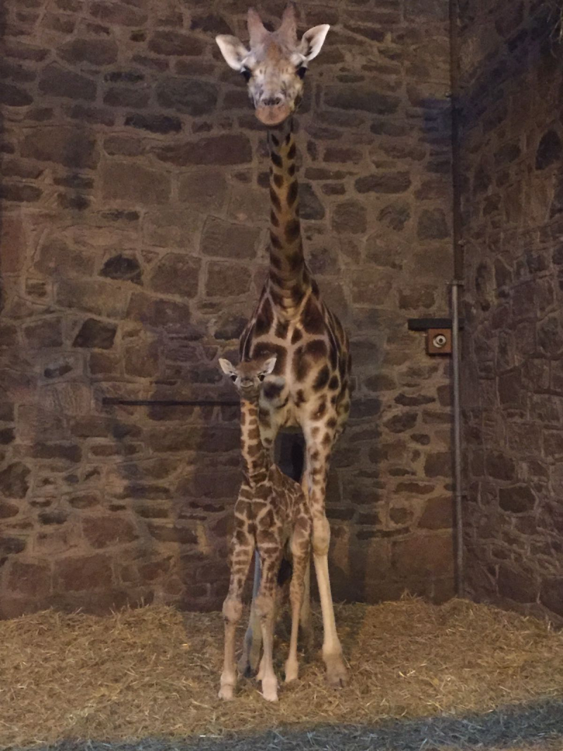 3) Keepers at Chester Zoo photograph a rare Rothschild's giraffe calf only hours after being born on Boxing Day (1)