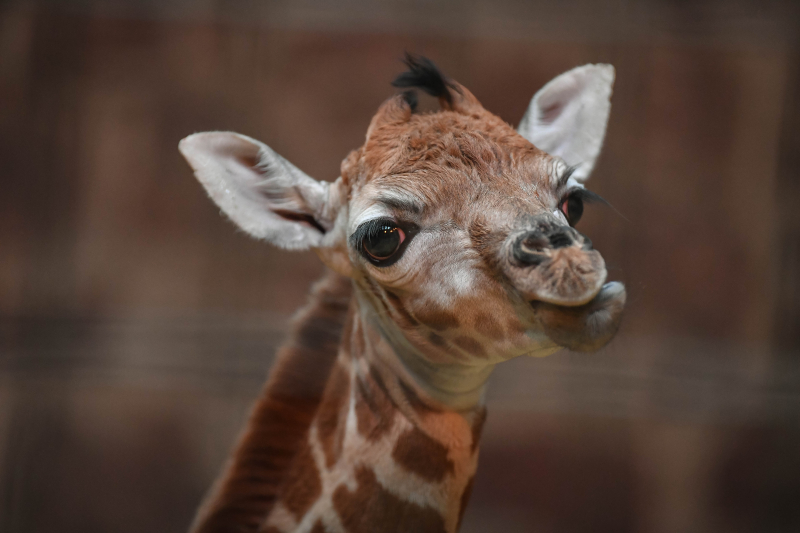 """Keepers at Chester Zoo are celebrating """"the best Christmas gift they could have wished for"""" following the birth of a rare Rothschild's giraffe calf (4)"""