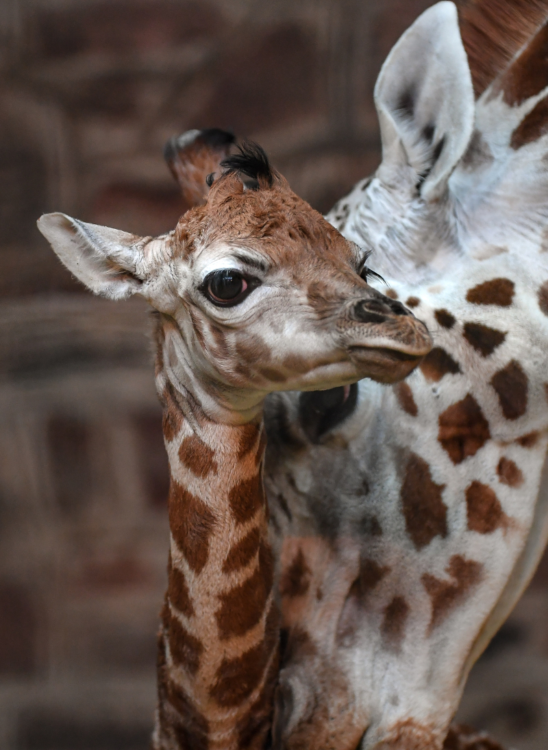 """Keepers at Chester Zoo are celebrating """"the best Christmas gift they could have wished for"""" following the birth of a rare Rothschild's giraffe calf (8)"""