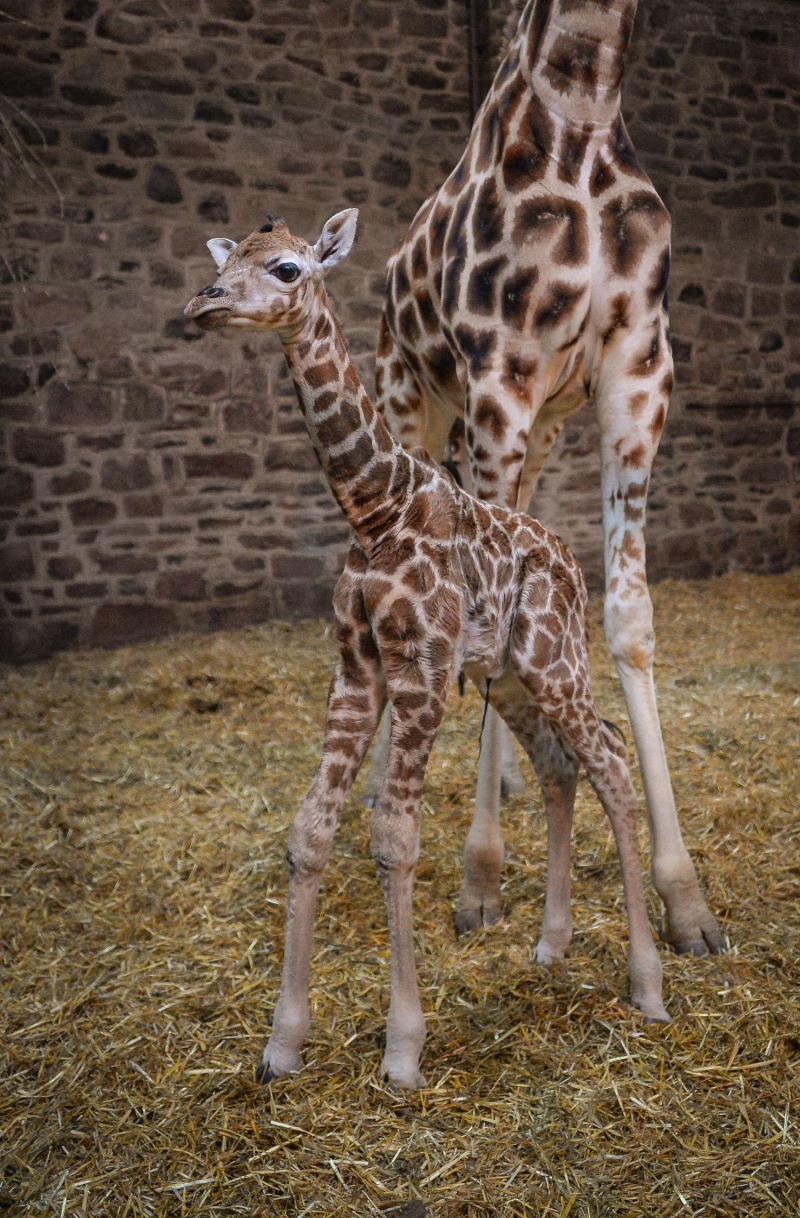 """Keepers at Chester Zoo are celebrating """"the best Christmas gift they could have wished for"""" following the birth of a rare Rothschild's giraffe calf (13)"""