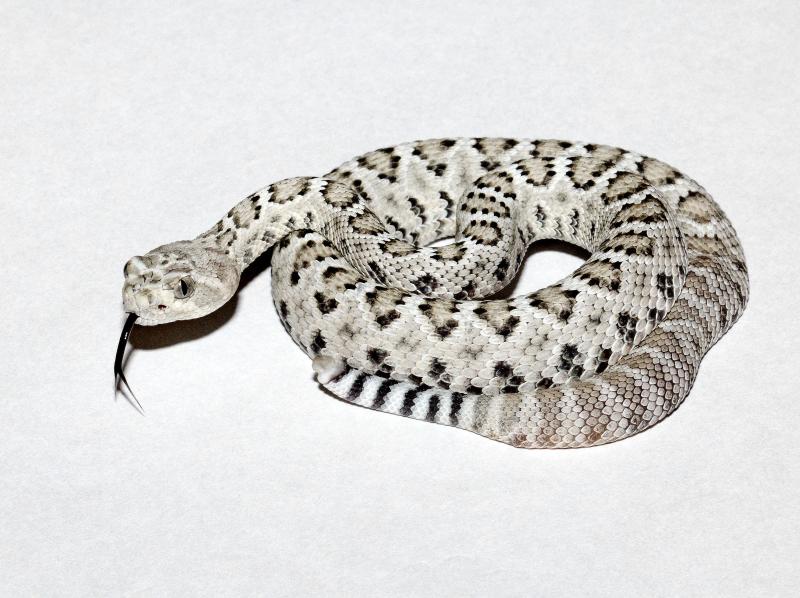 5_Los Angeles Zoo Baby Catalina Island Rattlesnake by Tad Motoyama