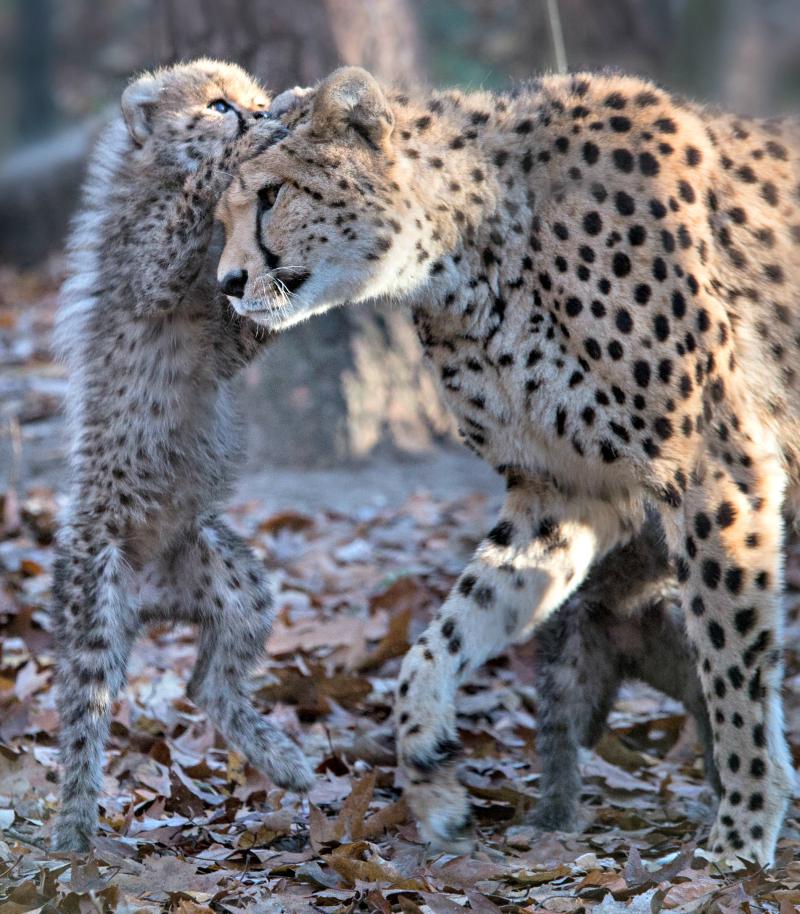 Cheetazesling 4