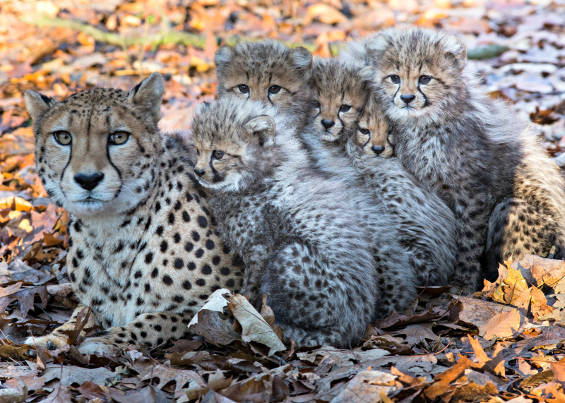 Cheetazesling 2