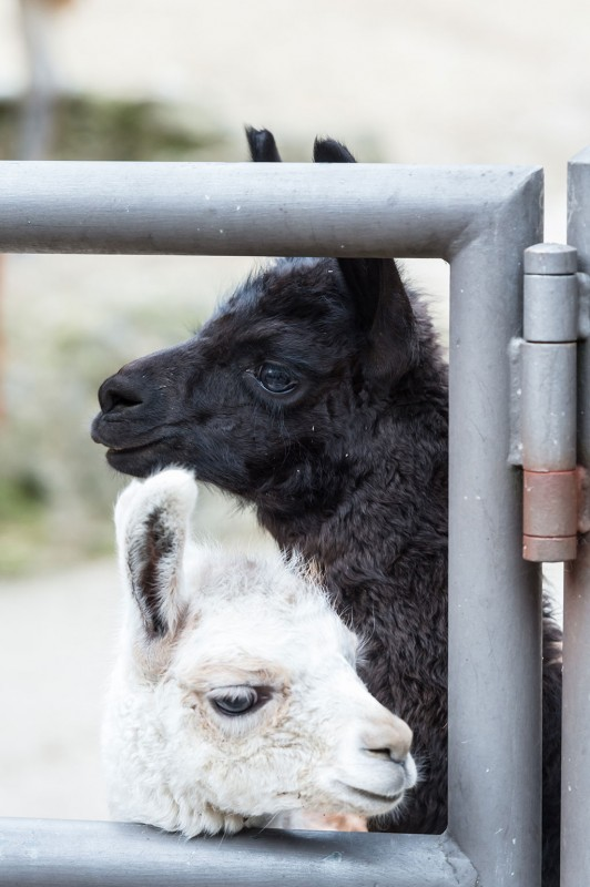 It's All Black-And-White with These Llama Brothers