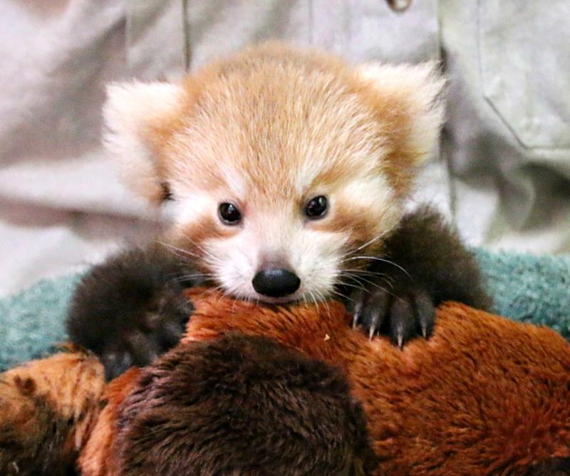 Red Panda Cub 6_Photo by Paul Fahy