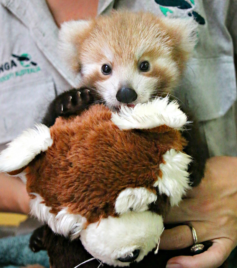 Red Panda Cub 11_Photo by Paul Fahy
