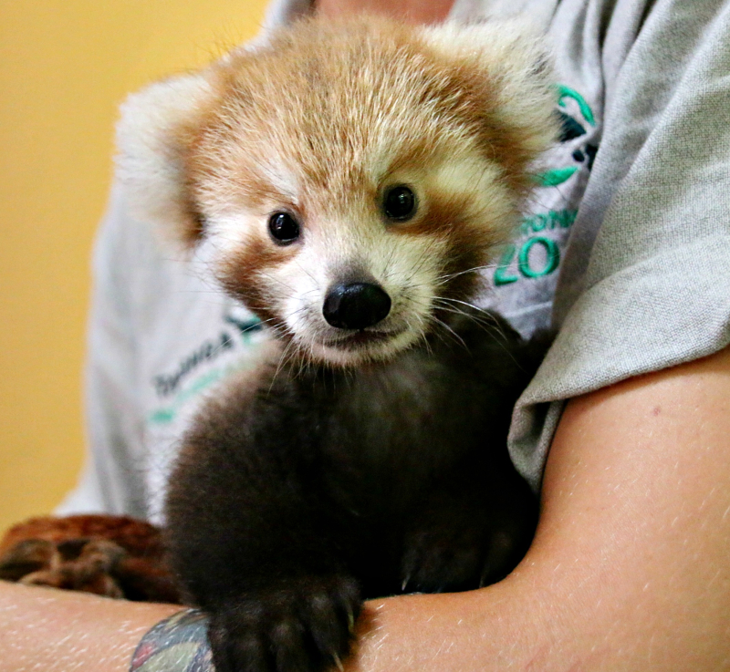 Red Panda Cub 10_Photo by Paul Fahy