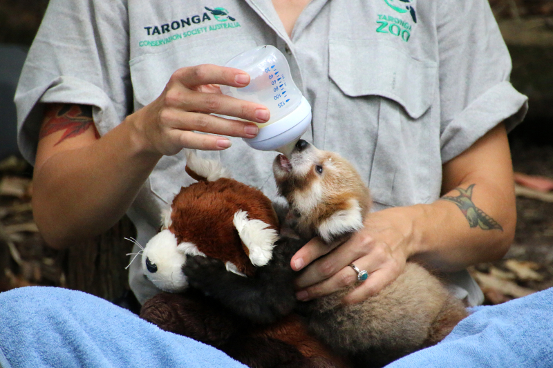 Red Panda Cub 3_Photo by Paul Fahy