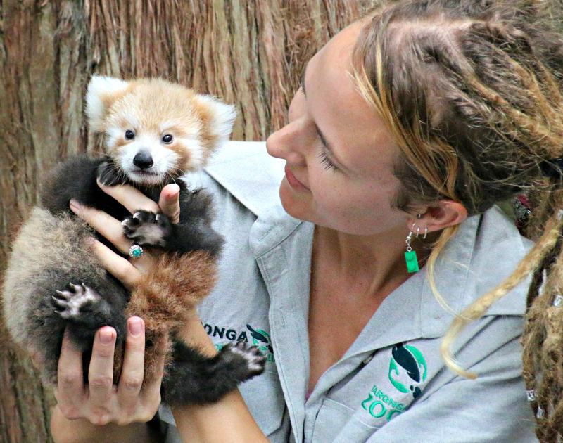 Red Panda Cub 2_Photo by Paul Fahy