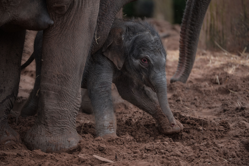 It's a boy! Second rare Asian elephant born in a month sparks joy at Chester Zoo (16)