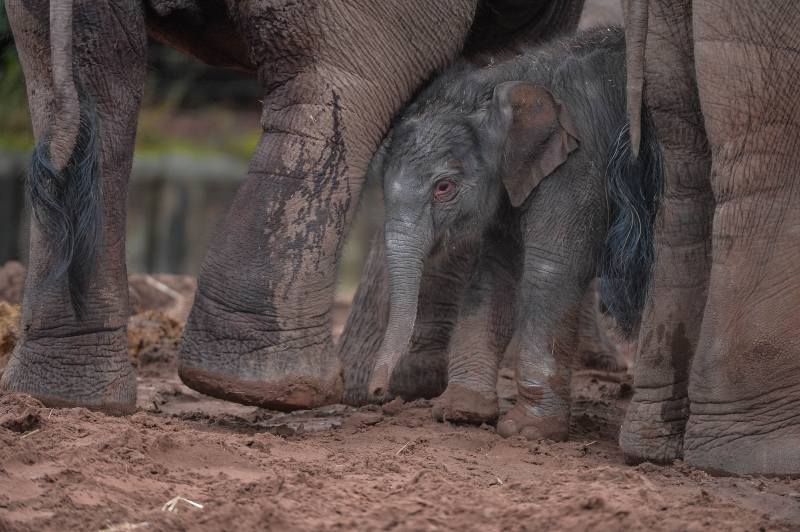 It's a boy! Second rare Asian elephant born in a month sparks joy at Chester Zoo (27)