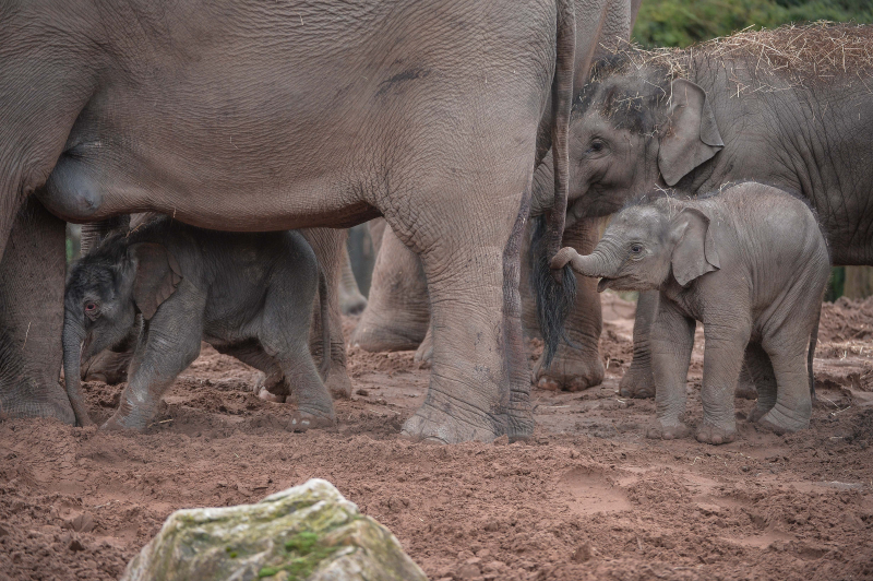 It's a boy! Second rare Asian elephant born in a month sparks joy at Chester Zoo (38)