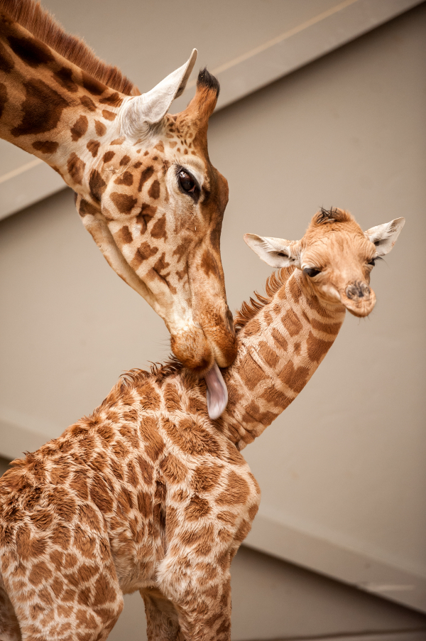 New Giraffe Calf Is a 'Momma's Boy'