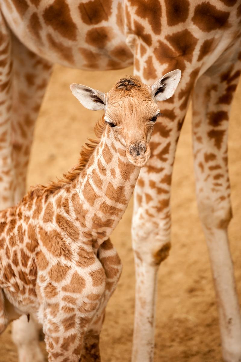 2_fotolink-girafs-1