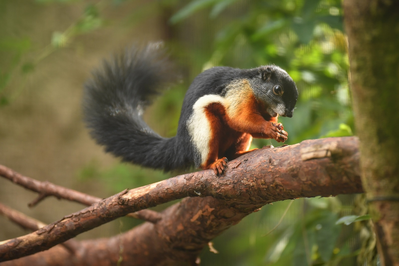 2_Prevost's squirrel triplets born in 'Chester Zoo first' (32)